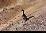 White-winged Pheasant, Bosque del Apache Wildlife Refuge, New Mexico
