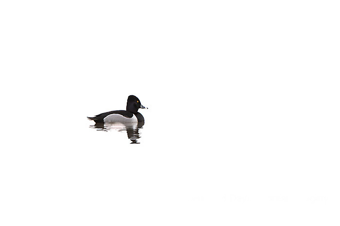 00742-00207 Ring-necked Duck (Aythya collaris) in wetland, Marion Co., IL