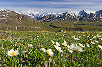 Mountain Aven wildflowers on the tundra, Denali National park, Interior, Alaska.