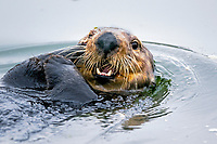 Southern sea otter or California sea otter face, Enhydra lutris nereis, Monterey Bay National Marine Sanctuary, Monterey, California, USA, Pacific Ocean