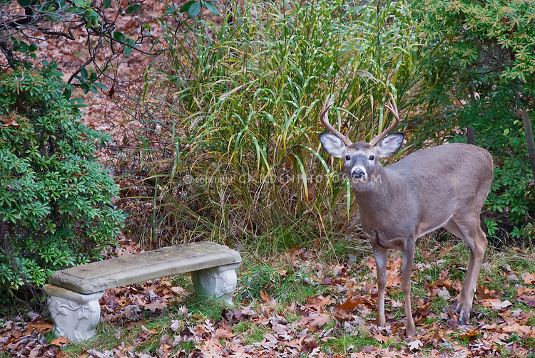 Deer with antlers male buck with garden bench, deerproof plants ornamental grass Miscanthus sinensis Strictus and Pieris andromeda, in autumn
