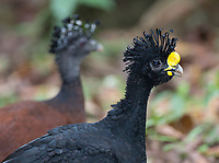 The male (foreground) and female Great curassow.
