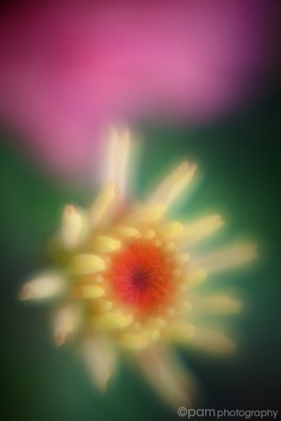 Soft abstract of a Zinnia bud