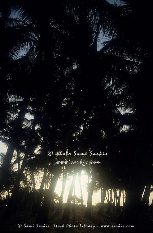 Silhouettes of coconut trees at sunset on Marina Beach, Chennai, India.