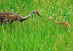 An adult sandhill crane feeds a meal of a worm to its young chick.