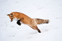 Red Fox jumping, Alberta, Canada