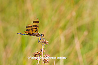 06579-00503  Halloween Pennant dragonfly (Celithemis eponina) male  DuPage Co. IL
