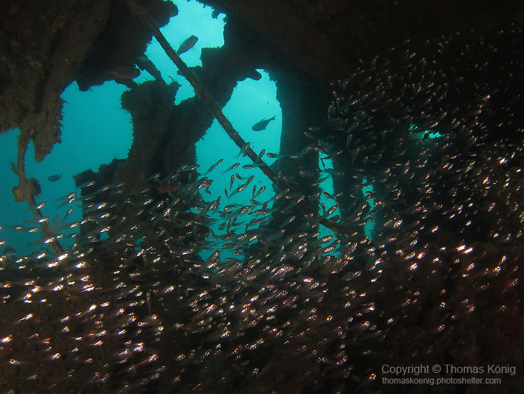 Apo Reef, Sulu Sea -- School of Slender Silversides inside Apo Wreck.