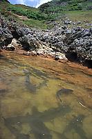 whitetip reef shark, Triaenodon obesus, courtship display, gathering for mating, Bonin Islands, Ogasawara, Tokyo, Japan, Pacific Ocean