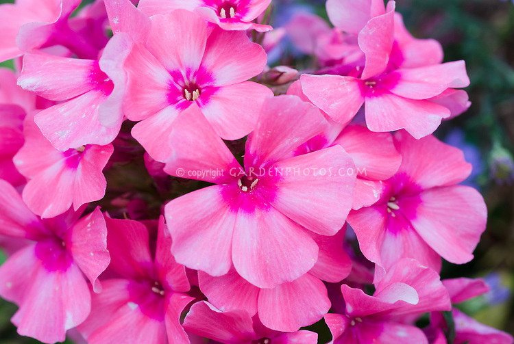 Phlox paniculata Light Pink Flame  (='Bareleven') dwarf growing garden flox in bloom