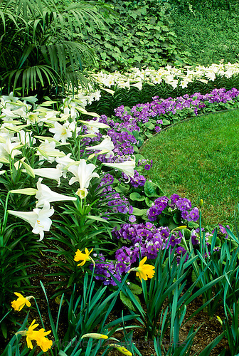 "Primula Obconica ""Juno Blue"" and daffodils, and Easter Lilies, Calaway Gardens, Georgia"