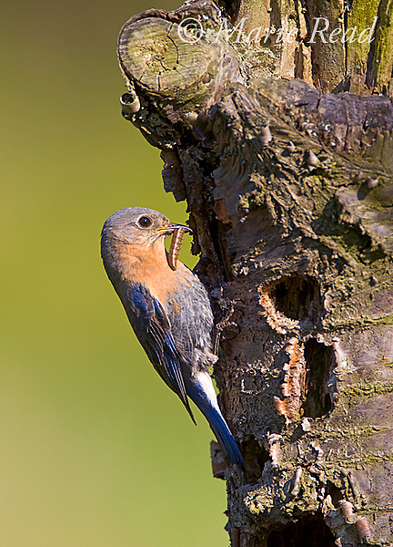 Eastern Bluebird (Sialia sialis) female bringing food (caterpillar) to nesthole in cherry (Prunus sp.) stump in an abandoned orchard, Wayne County, New York, USA