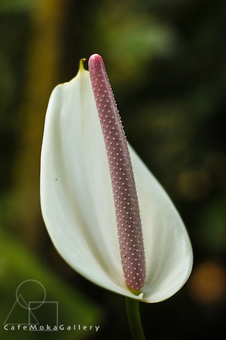 Trinidad Flora, white flower of an anthurium