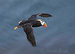 Tufted Puffin (Fratercula cirrhata) in flight, St. Paul Island, Pribilofs, Alaska, USA