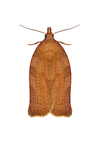 49.026 (0972)<br /> Dark Fruit-tree Tortrix - Pandemis heparana