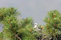 Short-tailed Hawk (Buteo brachyurus), nestling in nest; first recorded nesting of Short-tailed Hawks in Arizona; (Nesting Record)