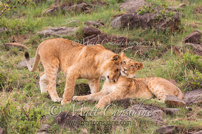 Young lions bumping and nuzzling to confirm their social bonds in the Masai Mara, Kenya, Africa (photo by Wildlife Photographer Matt Considine)