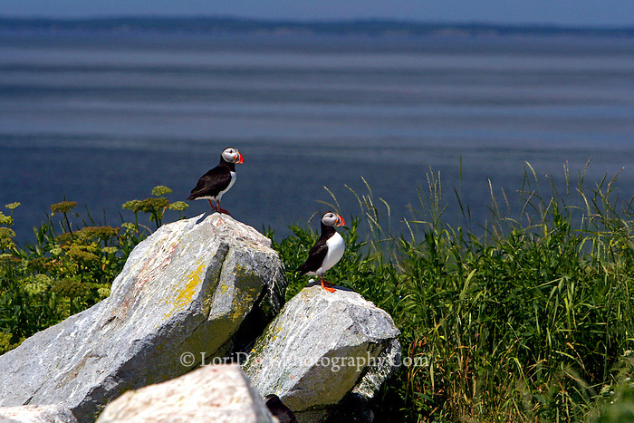 Two Puffins Overlooking The Ocean
