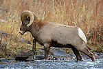 Bighorn Sheep Ram Crossing River