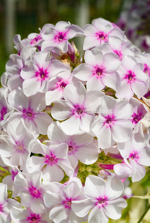 Phlox paniculata 'Nora Leigh' flowers, variegated foliage plant