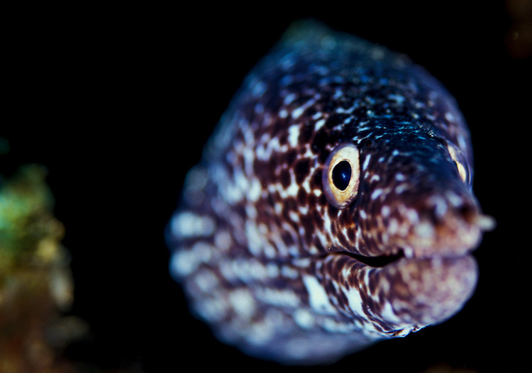 Facial short of a spotted moray (Gymnothorax moringa), St Lucia