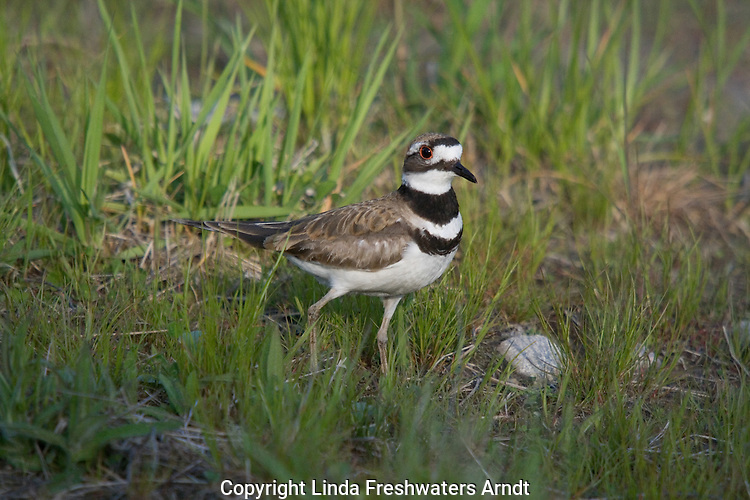 Killdeer (Charadrius vociferus) standing in the grass