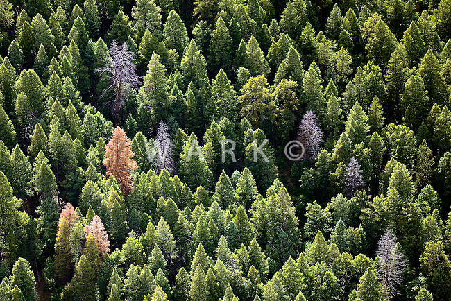 Healthy pine trees with dead outliers, west of Palmer Lake, Colorado. June 2014. 85480