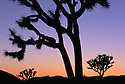 California, Joshua Tree National Park, Joshua trees silhouetted at sunset