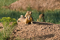 673030113 a wild utah prairie dog cynomys parvidens stretches and yawns near its burrow in bryce canyon national park utah united states