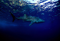 The worlds largest fish, a whale shark, Rhiniodon typus, passes by The Backwall off Molokini Island.  Hawaii.