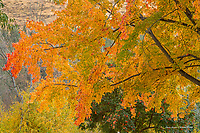Maple tree in autumn, Methow Valley