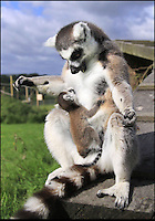 BNPS.co.uk (01202 558833)<br /> Pic: Ian Turner/BNPS<br /> <br /> ***Please Use Full Byline***<br /> <br /> Mothers pride...<br /> <br /> The Ring tailed Lemurs of Longleat are celebrating the arrival of baby Casper, the first new born this year in the safari parks fledgling troup of rescued primate's.<br /> <br /> And it's no surprise that his doting mother is constantly cuddling her baby - as he is one of the most endangered primates in the world.<br /> <br /> The rest of the highly social group all play there part in looking after the new baby, and keeper Beverly Evans said 'Its quite remakable to see the affection and care that the troup show towards the new arrival'.<br /> <br /> Lemurs are struggling to survive in their native Madagascar because of hunting and habitat loss, so any new offspring gives fresh hope.