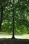 Lime tree in the sun at a park in Mestre, Italy.