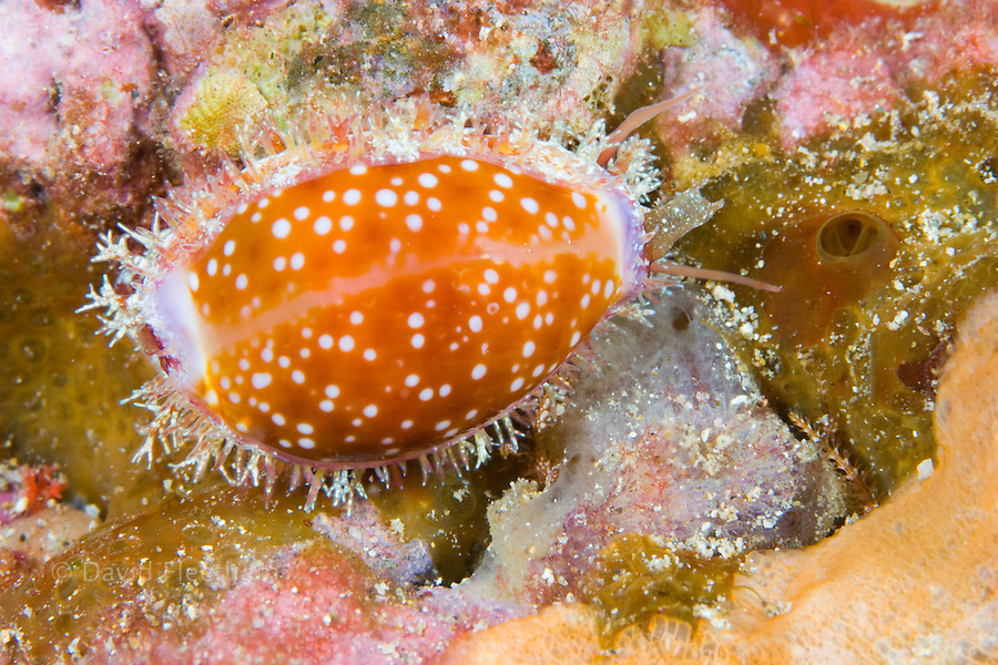The honey cowry, Cypraea helvola, with the animal partially covering the shell.  Hawaii.