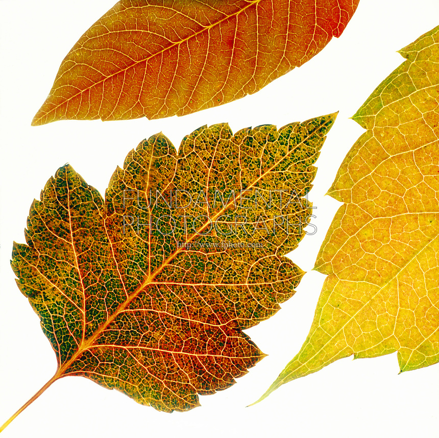 FALL FOLIAGE: LEAF VEINS<br /> Ninebark Between Birch (top) &amp; Aspen (right)<br /> In the autumn, trees stop photosynthesis. As the green chlorophyll disappears from the leaves, yellow, orange and red become visible.