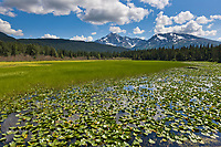 Lily pads in a Bear lake along the New Seward Highway, Kenai Peninsula, southcentral, Alaska.