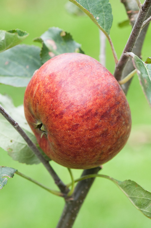 Apple 'Houblon', mid September. An English dessert apple bred by Charles Ross, head gardener at Welford Park, Newbury, Berkshire, owned by the Houblon family. First introduced in 1901.