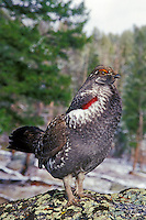 Blue Grouse or Dusky Grouse (Dendragapus obscurus) male performing spring mating display (hooting).  Western U.S., spring.