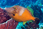 Cantherhines macrocerus, Whitespotted filefish, Cozumel, Mexico