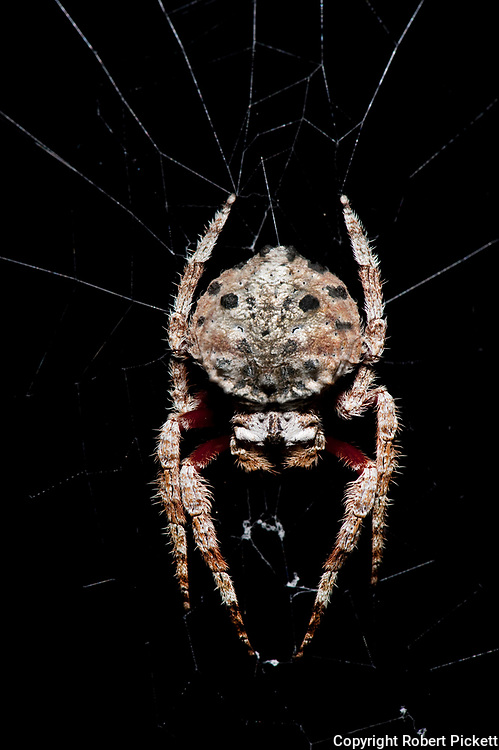 Darwin's bark spider, Caerostris darwini, on web at night, Nr Mantadia National Park, Andasibe, Madagascar, newly described (2010) orb-weaving spider. It produces the largest orb web known. The silk is extremely tough, tougher than any previously analyzed