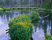 ORCAC_068 - USA, Oregon, Deschutes National Forest, Arnica and monkeyflower bloom on fallen logs in Fall River.