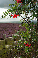 European Rowan tree or Mountain Ash in fruit with Common heather (Calluna vulgaris) with wall and sky, near Ribchester, Lancashire