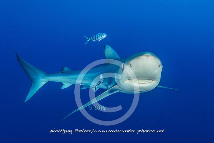 Prionace glauca und Naucrates ductor, Blauhai und Pilot Makrele, Blue Shark and Pilotfish, Pico, Azoren, Atlanik, Azores, Atlanic Ocean