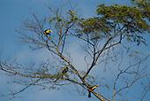 Fazenda Bauplatz, Brazil. Red-breasted toucans (tucano de bico verde) (Ramphastos dicolorus) perched on a branch of a tree.
