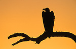 Lappetfaced vulture silhouette, Torgos tracheliotis, dawn, Kruger, South Africa