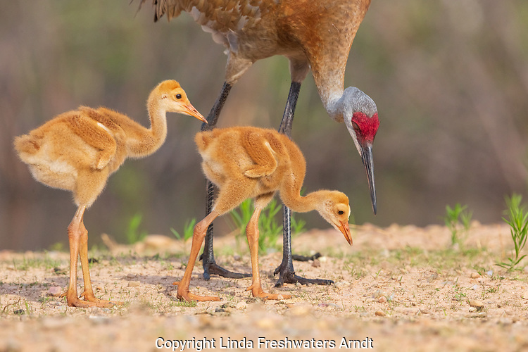 Sandhill crane family searching for insects to eat.