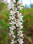 Coral Heath-Epacris microphylla