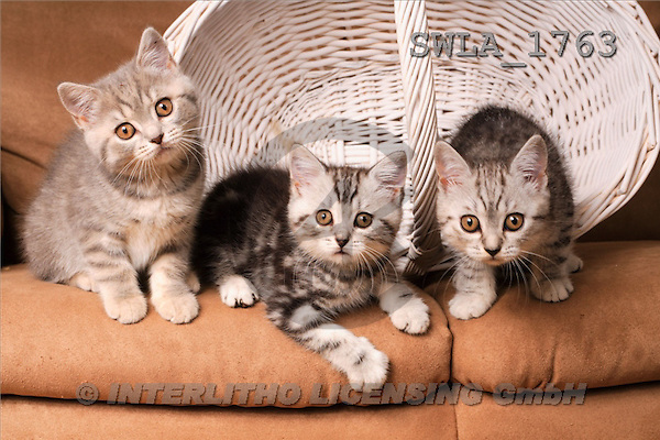 Carl, ANIMALS, photos, 3 kitten, wh.basket(SWLA1763,#A#) Katzen, gatos