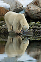 Polar bear stares at his reflection in Sallyhammna Harbor, Spitzbergen