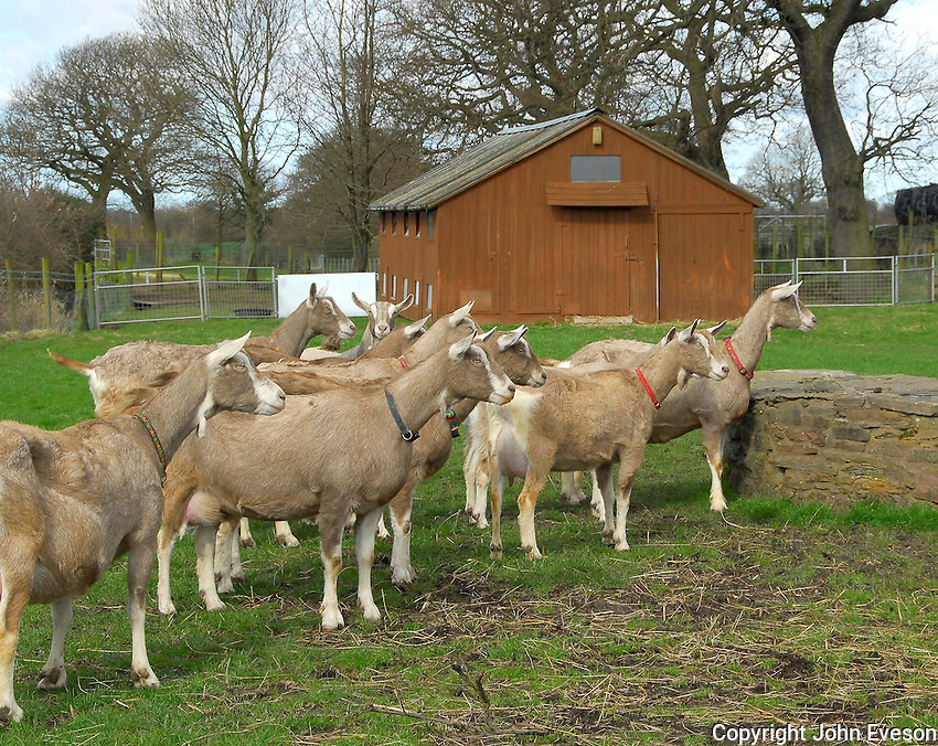 Goats near Chorley, Lancashire.